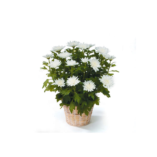 White Chyrsanthemum